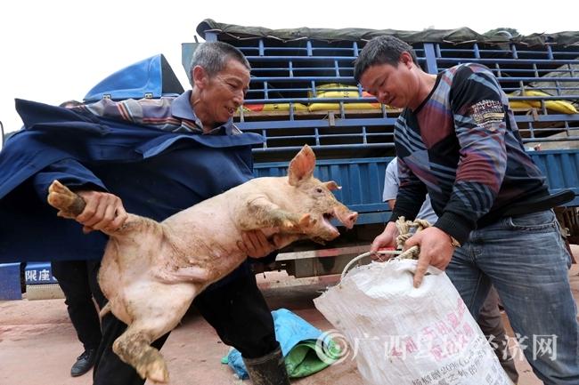 图1:4月18日,在广西柳州市融安县桥板乡古板村,贫困户代表在领取猪苗。(谭凯兴 摄)