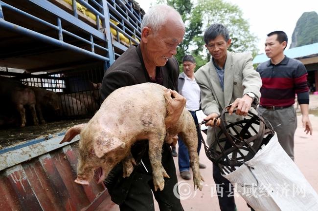 图2:4月18日,在广西柳州市融安县桥板乡古板村,贫困户代表在领取猪苗。(谭凯兴 摄)