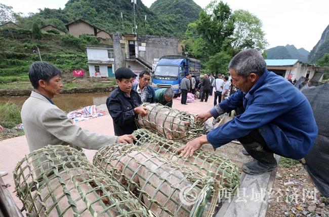 图7:4月18日,在广西柳州市融安县桥板乡古板村,贫困群众将领取的猪苗装进猪笼拉回家饲养。(谭凯兴 摄)