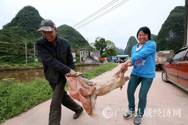 图5:图4:4月18日,在广西柳州市融安县桥板乡古板村,贫困群众将领取的猪苗抬回家。(谭凯兴 摄)