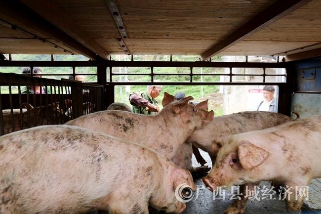 图8:4月18日,在广西柳州市融安县桥板乡古板村,工作人员在帮贫困户选猪苗。(谭凯兴 摄)