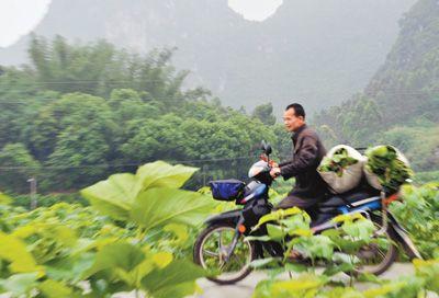 广西河池治理重金属污染10余年 修复后的农田桑叶吐绿