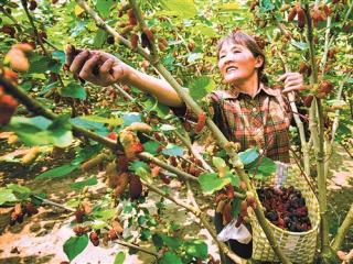 临桂:两江镇菜园村农户喜摘桑果