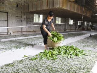 金城江:种桑养蚕推动脱贫