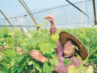 宜州市万亩葡萄园正忙着葡萄护理工作