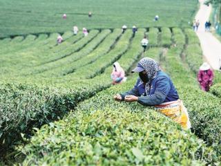 横县3万亩茶园进入春茶采摘期