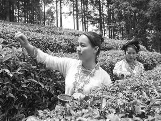 融水苗族自治县红水乡苗胞采摘春茶