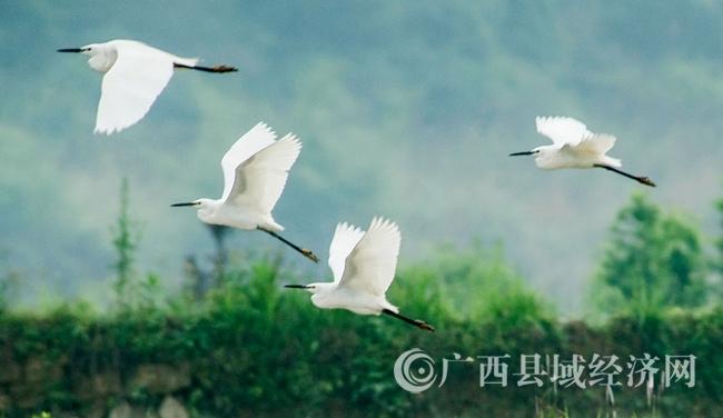 融安县长安镇大乐村:生态好引来白鹭飞