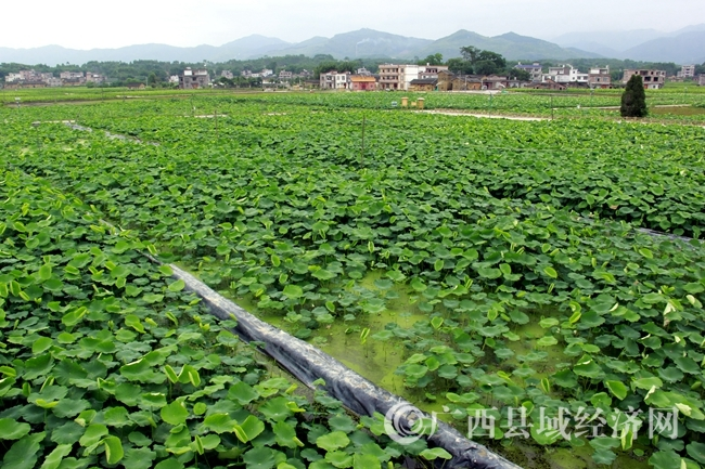 [平桂区]双季莲藕现代农业(核心)示范区荷花开