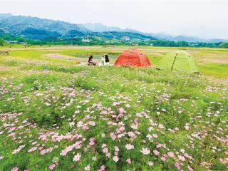 灵川:公平湖畔利用废弃库底田种植格桑花