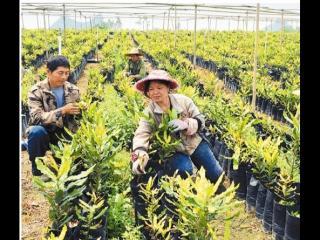 """扶绥:澳洲坚果已成为种植户的""""致富果"""""""