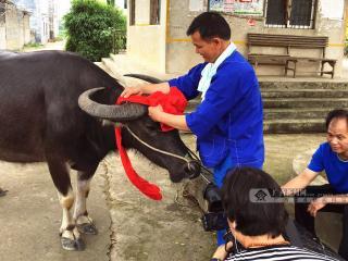 宾阳:蓝衣壮人民为牛过生日