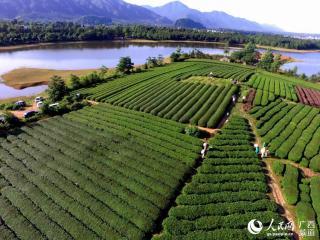 桂林:全州县绍水镇千亩有机茶园美景处处如画