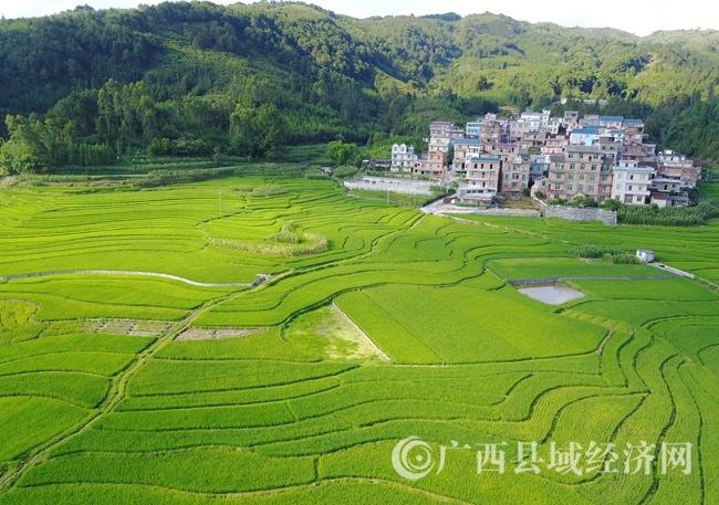 罗城仲夏田园  万亩早稻犹如绿毯