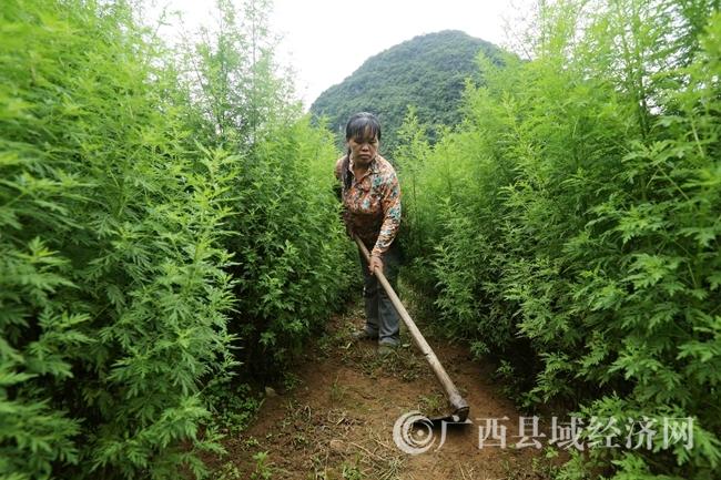 [融安县]探秘中国青蒿素生产基地