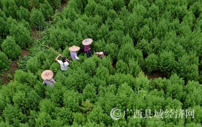 图18:7月19日,广西柳州市融安县泗顶镇吉照村,农民在田间管护青蒿。(谭凯兴 摄)