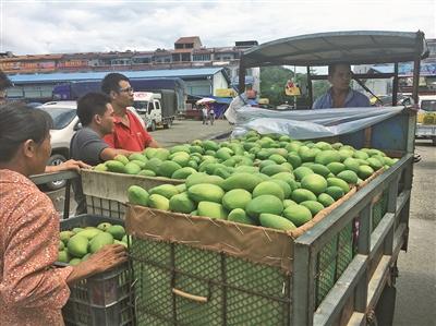 [田阳县]芒果产业发展见闻