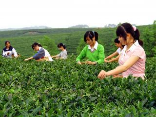 灵山县生态茶园种植基地