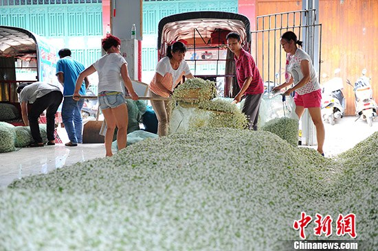 工人正在对收购的新鲜的茉莉花进行装袋运往加工企业加工。胡雁 摄