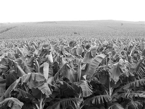 [隆安县]金穗香蕉产业(核心)示范区 获评五星级示范区