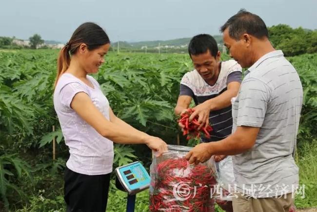 农户采摘颗大饱满的辣椒筹备活动原料