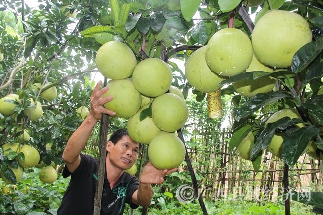 又大又结的柚子,喜获丰收
