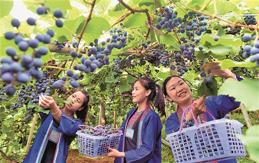 三江县同乐苗族乡归东村的千亩葡萄迎来收获季