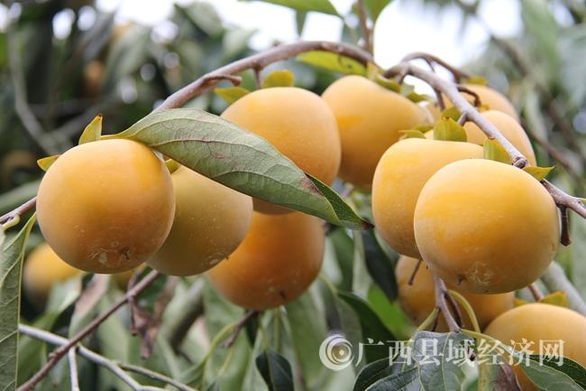 """[武宣县]""""双龙盛柿""""果王大赛将于9月21日至23日举行"""