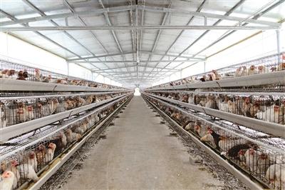 蛋鸡养殖成脱贫致富好产业。.jpg