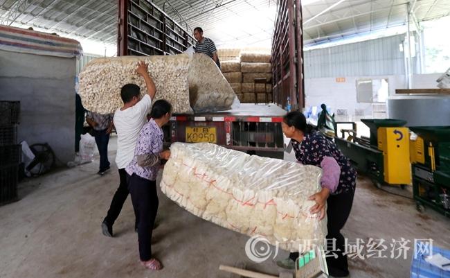 图11:9月22日,在广西融水苗族自治县香粉乡新平村,村民将烘干的竹荪装车,准备外销。(谭凯兴 摄)