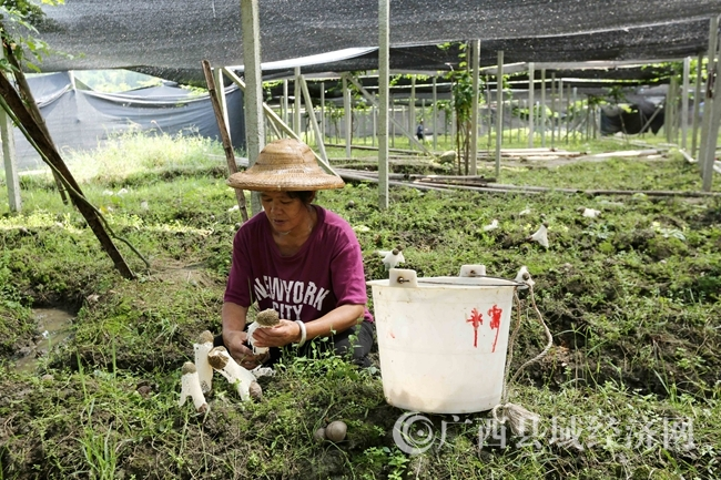 图2:9月22日,在广西融水苗族自治县香粉乡新平村,村民在田间采收竹荪。(谭凯兴 摄)