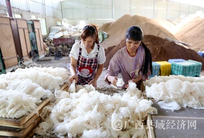 图3:9月22日,在广西融水苗族自治县香粉乡新平村,村民在分拣采摘的竹荪。(谭凯兴 摄)