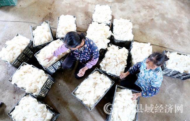 图5:9月22日,在广西融水苗族自治县香粉乡新平村,村民在分拣采摘的竹荪。(谭凯兴 摄)
