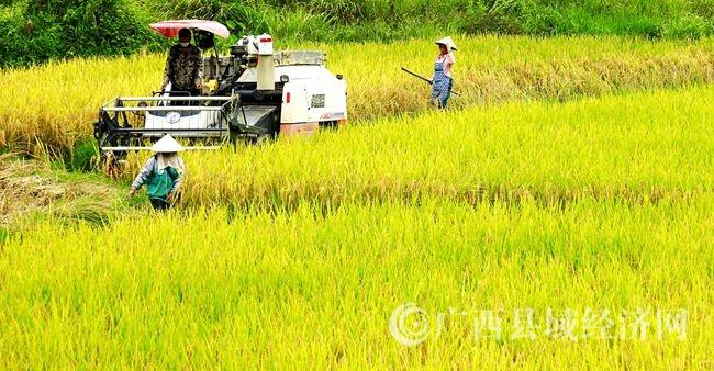 南丹:水稻收割忙,农机来帮忙