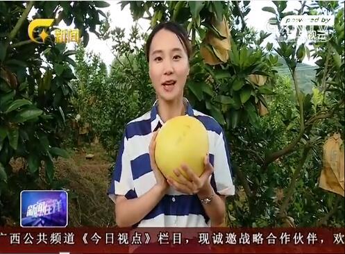 [环江县]红心香柚获丰收 果农增产采摘忙