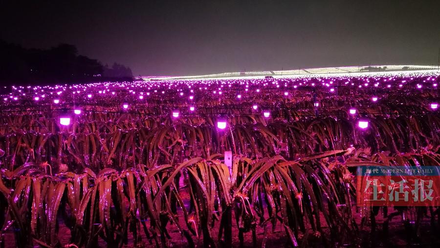 武鸣火龙果基地亮起数万盏灯 场面壮观美不胜收
