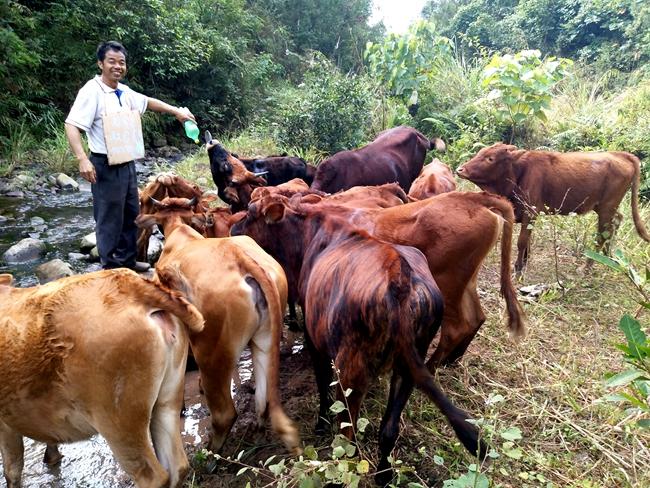 [宁明县]大力发展生态肉牛养殖产业助推脱贫攻坚