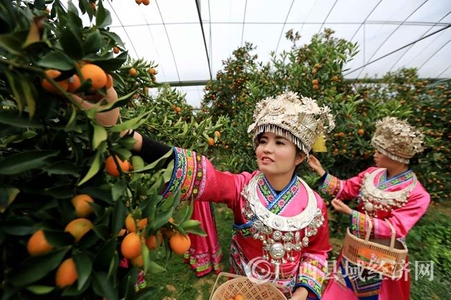 融安县:金桔丰收 助农增收