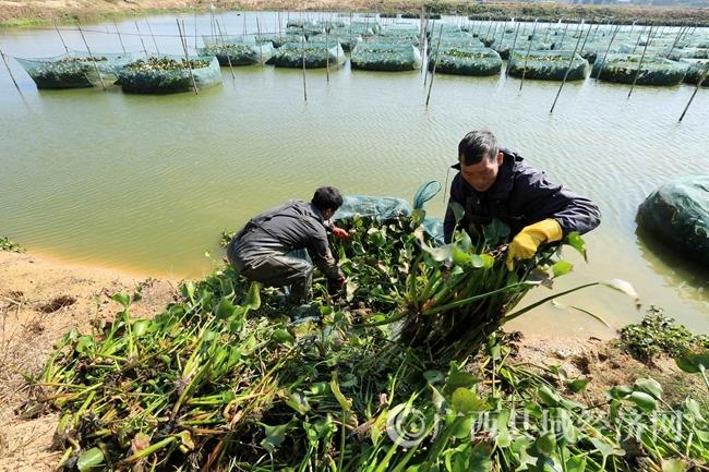 图3:12月19日,在广西钦州市钦北区九佰垌现代特色农业(核心)示范区黄鳝养殖区,农民在清理网箱中的水葫芦,准备收黄鳝。