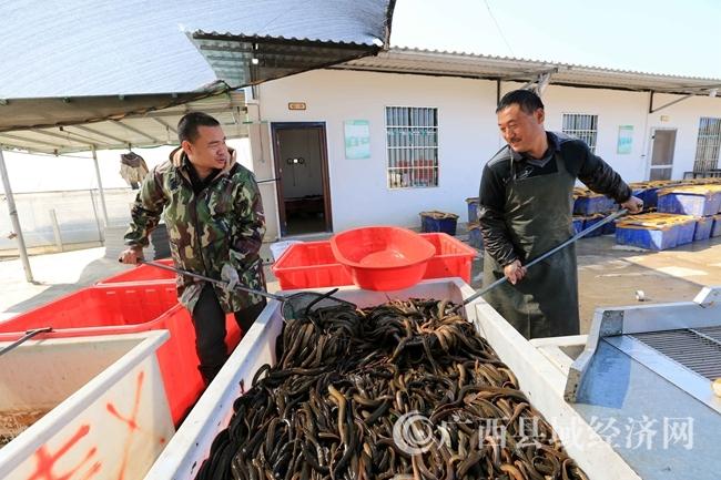 图11:在广西钦州市钦北区九佰垌现代特色农业(核心)示范区,两名农民在分拣成品黄鳝,准备上市销售。(谭凯兴 摄)