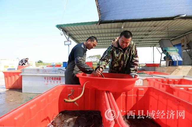 图10:在广西钦州市钦北区九佰垌现代特色农业(核心)示范区,两名农民在分拣成品黄鳝,准备上市销售。(谭凯兴 摄)