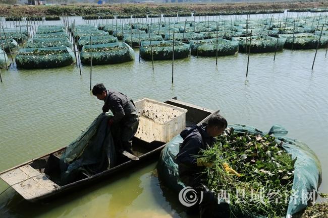 图9:在广西钦州市钦北区九佰垌现代特色农业(核心)示范区黄鳝养殖区,两名农民在清理网箱中的水葫芦,准备收黄鳝上市销售。(