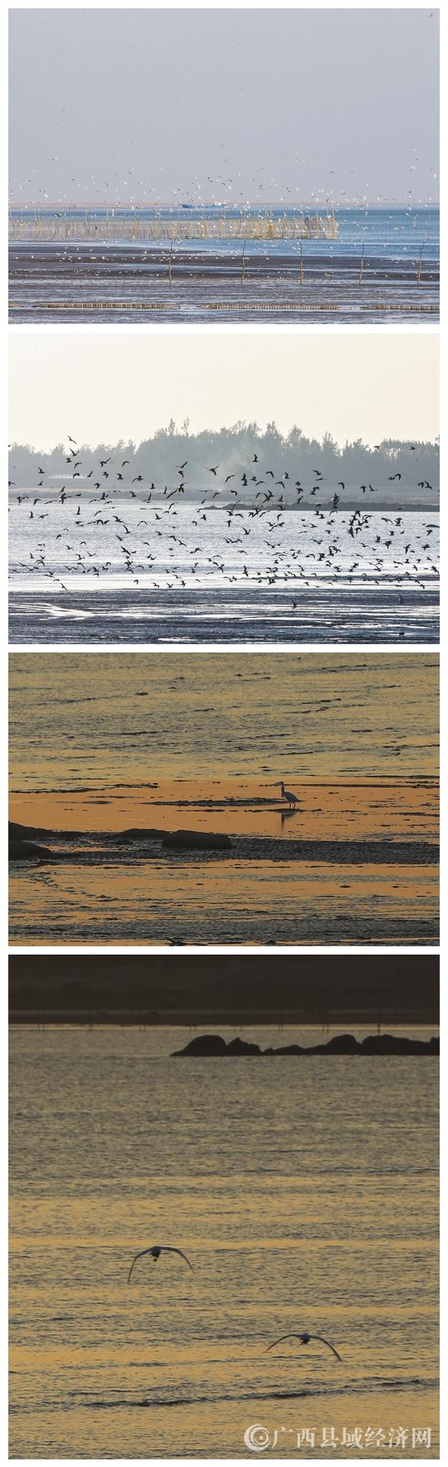 图9:12月18日,一只白鹭在广西钦州市三娘湾海面上捕食。(刘峥 摄).JPG.jpg