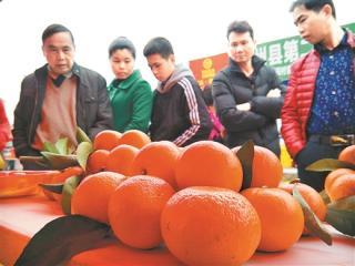 [象州县]砂糖橘节吸引150家单位参展