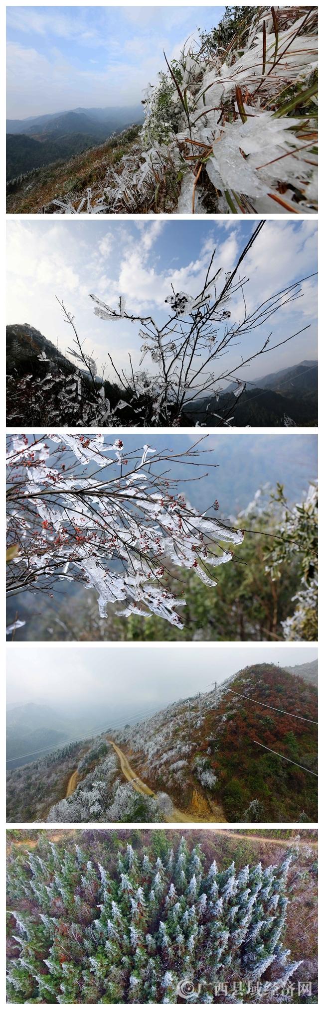 图12:1月8日,在广西柳州市融安县板榄镇东岭村大岩屯拍摄被冰冻的树木。(谭凯兴 摄)