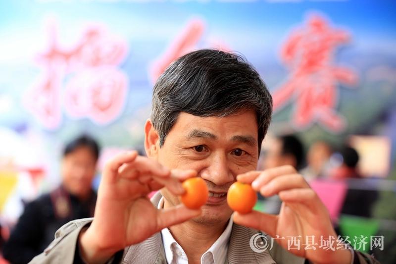 图9:12月28日,在金桔擂台赛现场,广西大学农学院唐志鹏教授在查看参赛金桔果型。(谭凯兴 摄)