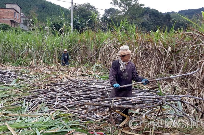 村民在采收甘蔗1