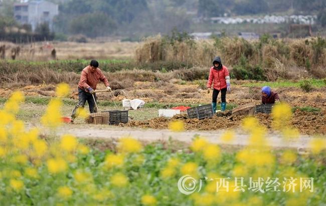 图7:2月4日,在广西柳州市融安县长安镇大巷村,农民在田间劳作。(谭凯兴 摄).JPG