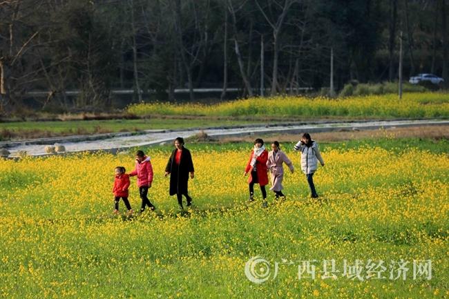 图11:1月31日,游客在广西柳州市融安县沙子乡红妙村油菜花田中游玩。(谭凯兴 摄).JPG