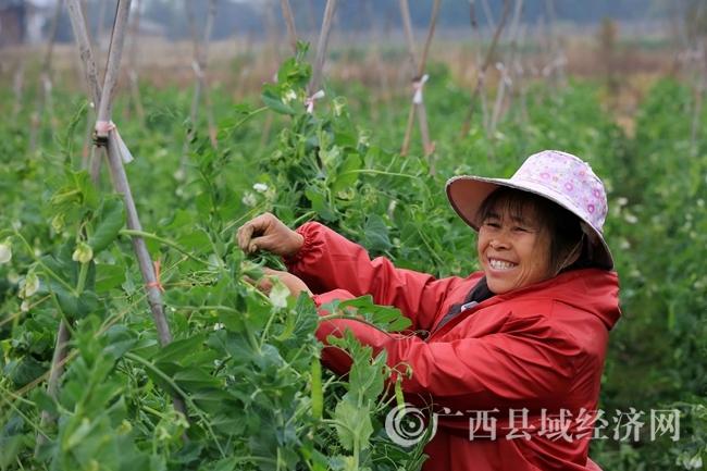 图1:1月30日,在广西柳州市融安县潭头乡新桂村东桂屯,一名妇女在田间摘豌豆荚。(谭凯兴 摄)